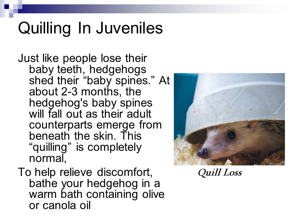 Quilling In Juveniles Just like people lose their baby teeth, hedgehogs shed their baby spines. At about 2-3 months, the hedgehog s baby spines will fall out as their adult counterparts emerge from beneath the skin.