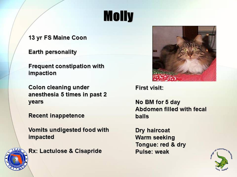 Molly 13 yr FS Maine Coon Earth personality Frequent constipation with impaction Colon cleaning under anesthesia 5 times in past 2 years Recent inappe