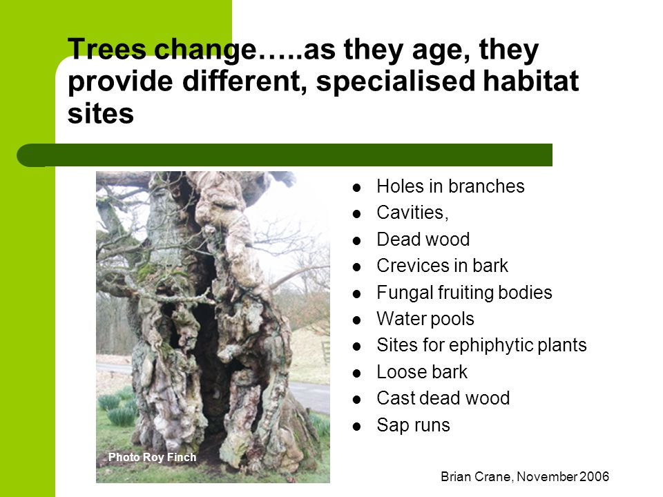 Brian Crane, November 2006 Trees change…..as they age, they provide different, specialised habitat sites Holes in branches Cavities, Dead wood Crevice