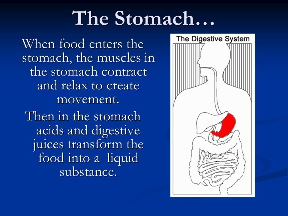 The Stomach… When food enters the stomach, the muscles in the stomach contract and relax to create movement. Then in the stomach acids and digestive j
