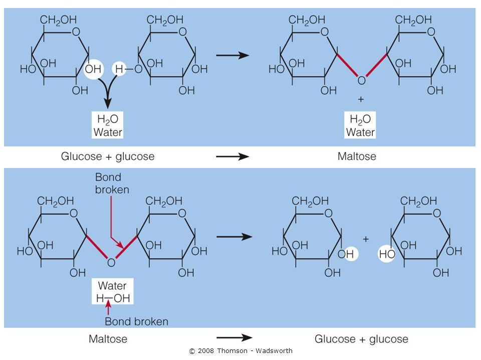 The Complex Carbohydrates Few (oligosaccharides) or many (polysaccharides) glucose units bound/linked together in straight or branched chains.