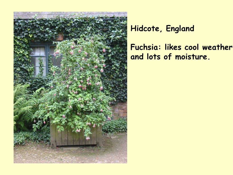 Hidcote, England Fuchsia: likes cool weather and lots of moisture.