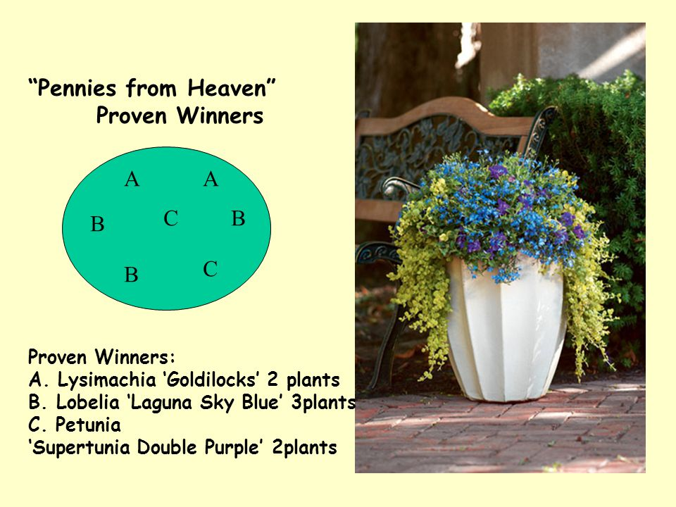 "Proven Winners: A. Lysimachia 'Goldilocks' 2 plants B. Lobelia 'Laguna Sky Blue' 3plants C. Petunia 'Supertunia Double Purple' 2plants ""Pennies from H"