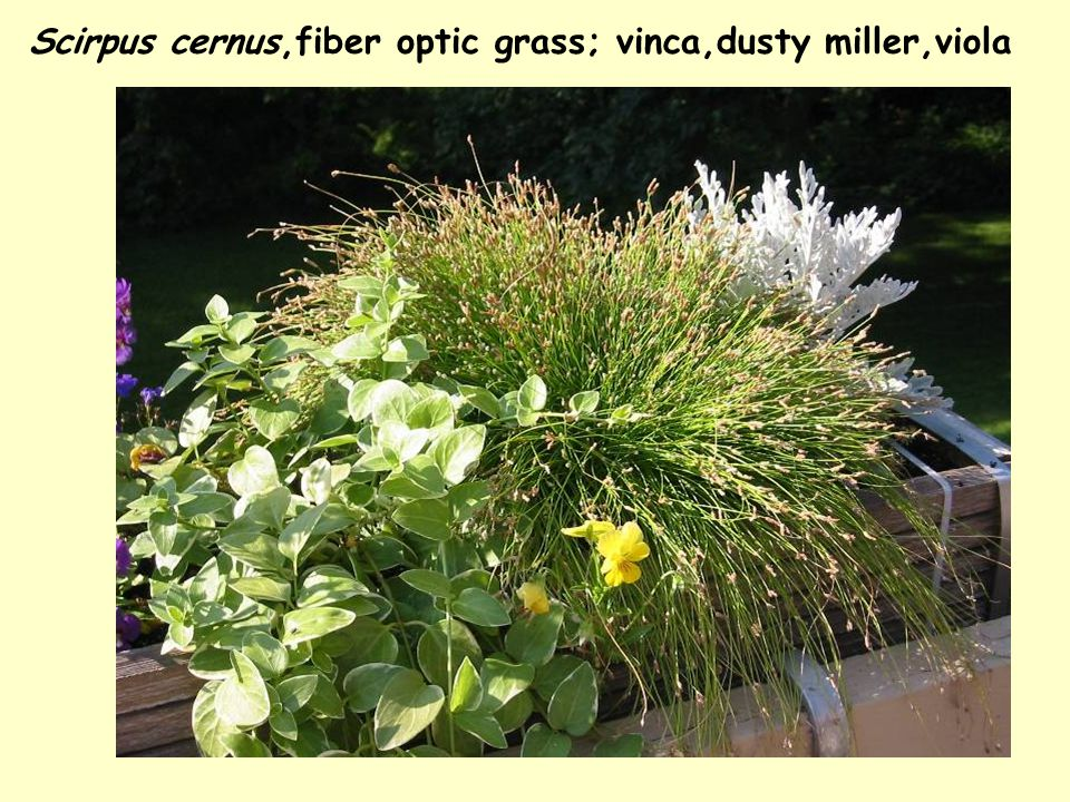 Scirpus cernus,fiber optic grass; vinca,dusty miller,viola