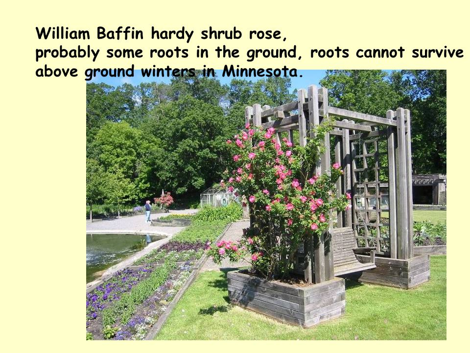William Baffin hardy shrub rose, probably some roots in the ground, roots cannot survive above ground winters in Minnesota.