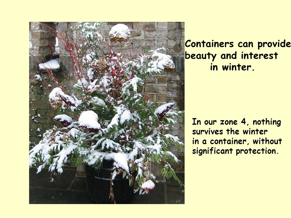 Containers can provide beauty and interest in winter. In our zone 4, nothing survives the winter in a container, without significant protection.