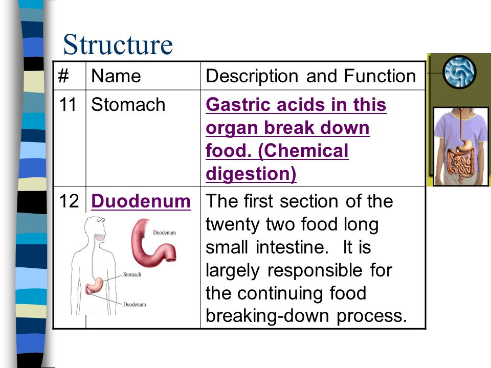 Structure #NameDescription and Function 11StomachGastric acids in this organ break down food. (Chemical digestion) 12DuodenumThe first section of the