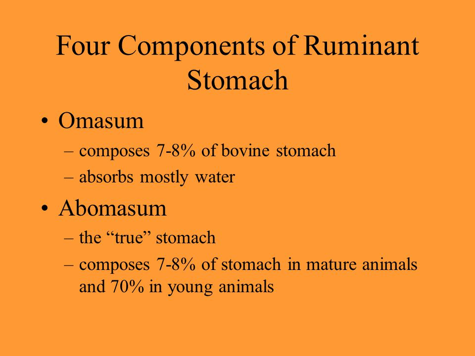 "Four Components of Ruminant Stomach Omasum –composes 7-8% of bovine stomach –absorbs mostly water Abomasum –the ""true"" stomach –composes 7-8% of stoma"
