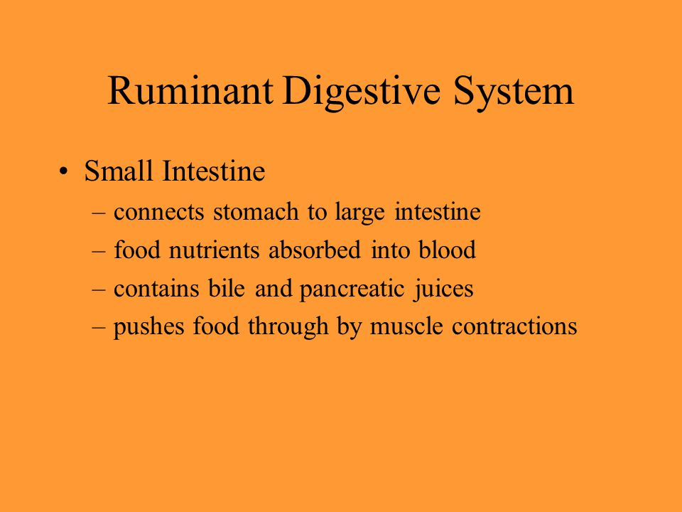 Ruminant Digestive System Small Intestine –connects stomach to large intestine –food nutrients absorbed into blood –contains bile and pancreatic juice