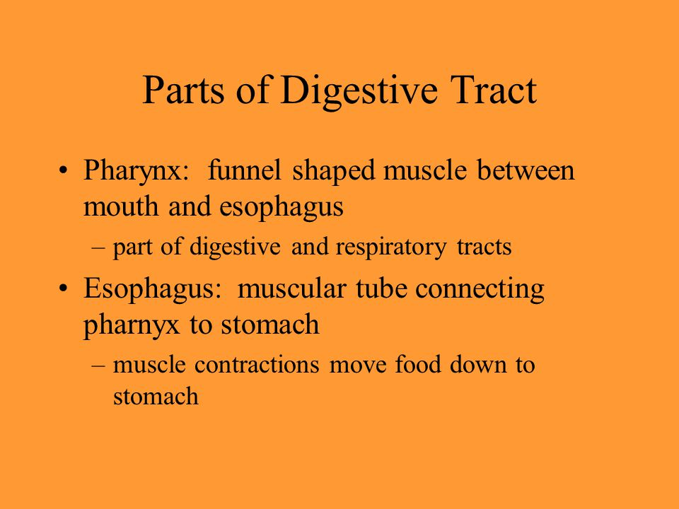 Parts of Digestive Tract Pharynx: funnel shaped muscle between mouth and esophagus –part of digestive and respiratory tracts Esophagus: muscular tube