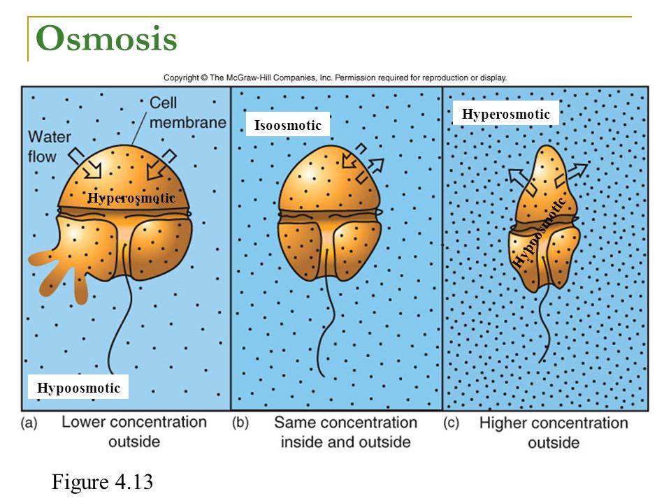 Hypoosmotic Hyperosmotic Hypoosmotic Hyperosmotic Isoosmotic Osmosis Figure 4.13