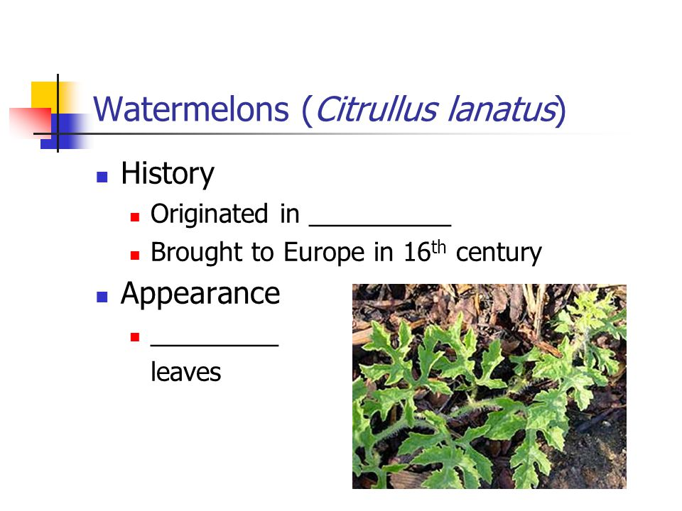 Watermelons (Citrullus lanatus) History Originated in __________ Brought to Europe in 16 th century Appearance _________ leaves