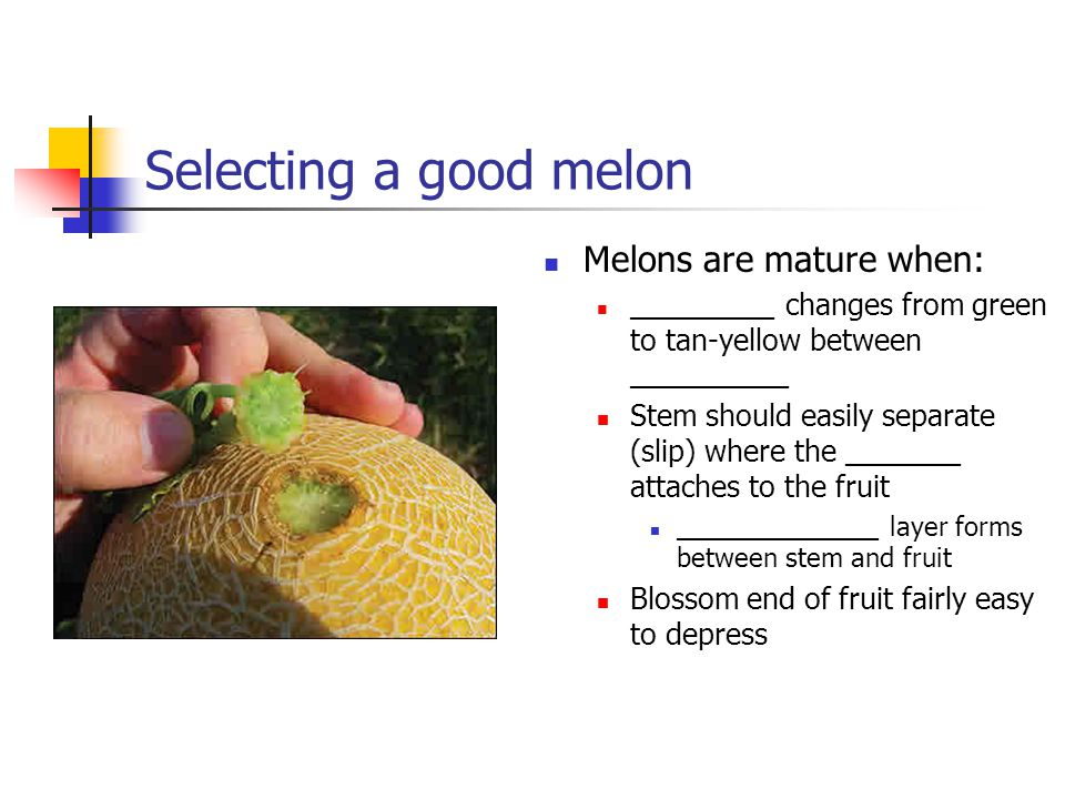 Selecting a good melon Melons are mature when: __________ changes from green to tan-yellow between ___________ Stem should easily separate (slip) where the ________ attaches to the fruit ______________ layer forms between stem and fruit Blossom end of fruit fairly easy to depress