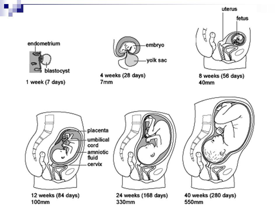 Woman's reproductive period Menarche Menopause 13-45 years