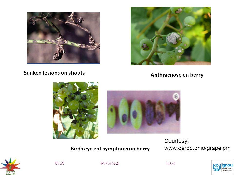 Sunken lesions on shoots Anthracnose on berry Birds eye rot symptoms on berry Courtesy: www.oardc.ohio/grapeipm PreviousEnd Next