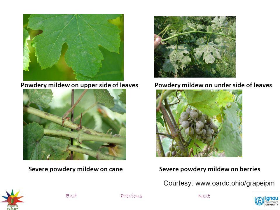 Severe powdery mildew on berries Powdery mildew on upper side of leaves Severe powdery mildew on cane Powdery mildew on under side of leaves Courtesy: