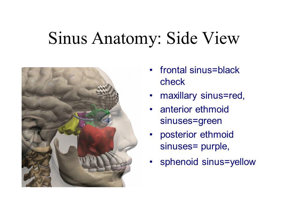 Sinus Anatomy: Side View frontal sinus=black check maxillary sinus=red, anterior ethmoid sinuses=green posterior ethmoid sinuses= purple, sphenoid sinus=yellow