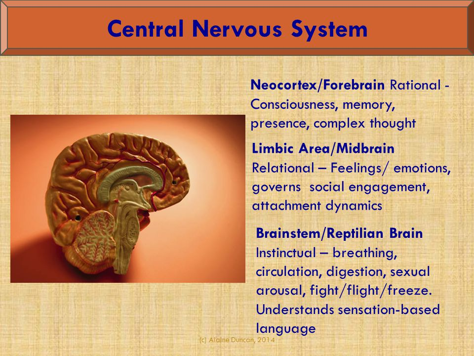 (c) Alaine Duncan, 2014 Central Nervous System Neocortex/Forebrain Rational - Consciousness, memory, presence, complex thought Brainstem/Reptilian Brain Instinctual – breathing, circulation, digestion, sexual arousal, fight/flight/freeze.