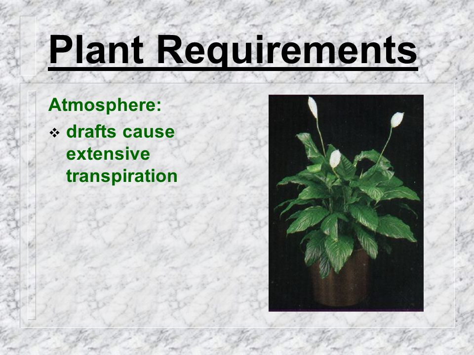 Plant Requirements Atmosphere:  drafts cause extensive transpiration
