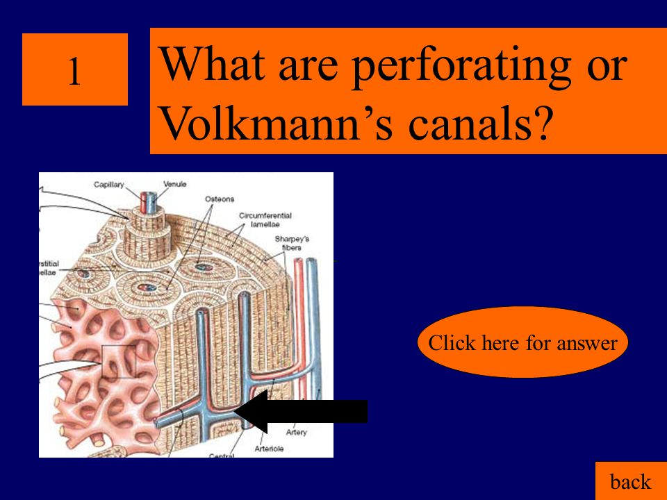 1 back Click here for answer What are perforating or Volkmann's canals?