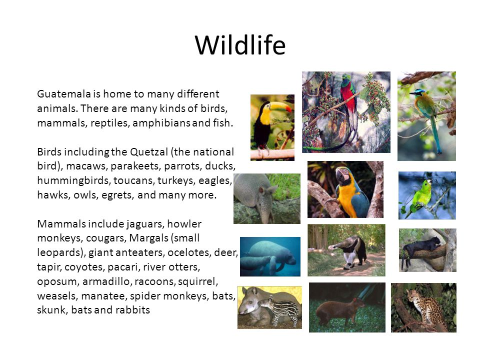 Wildlife Reptiles include crocodiles, boa constrictors, coral snakes, rattle snakes, barba amarilla, forest racers, iguanas, gila monsters, and turtles.