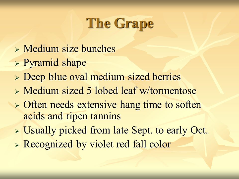 The Grape  Medium size bunches  Pyramid shape  Deep blue oval medium sized berries  Medium sized 5 lobed leaf w/tormentose  Often needs extensive hang time to soften acids and ripen tannins  Usually picked from late Sept.