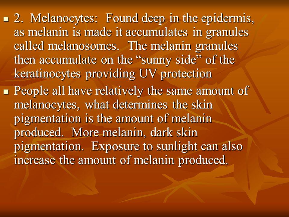 2. Melanocytes: Found deep in the epidermis, as melanin is made it accumulates in granules called melanosomes. The melanin granules then accumulate on