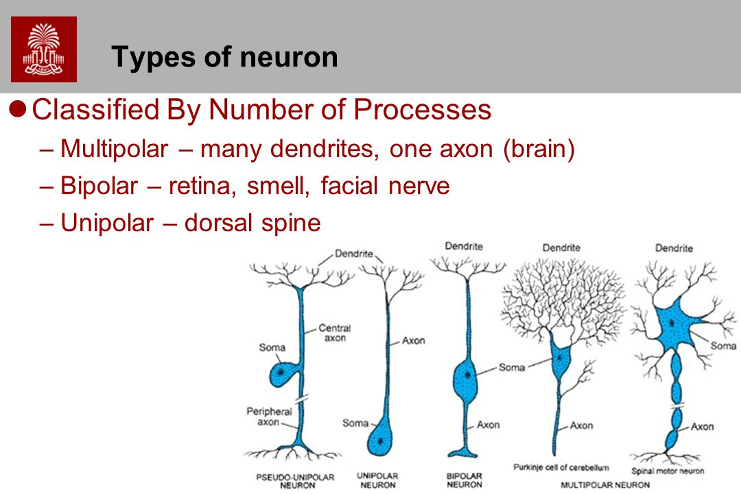 16 Types of neuron Classified By Number of Processes –Multipolar – many dendrites, one axon (brain) –Bipolar – retina, smell, facial nerve –Unipolar –