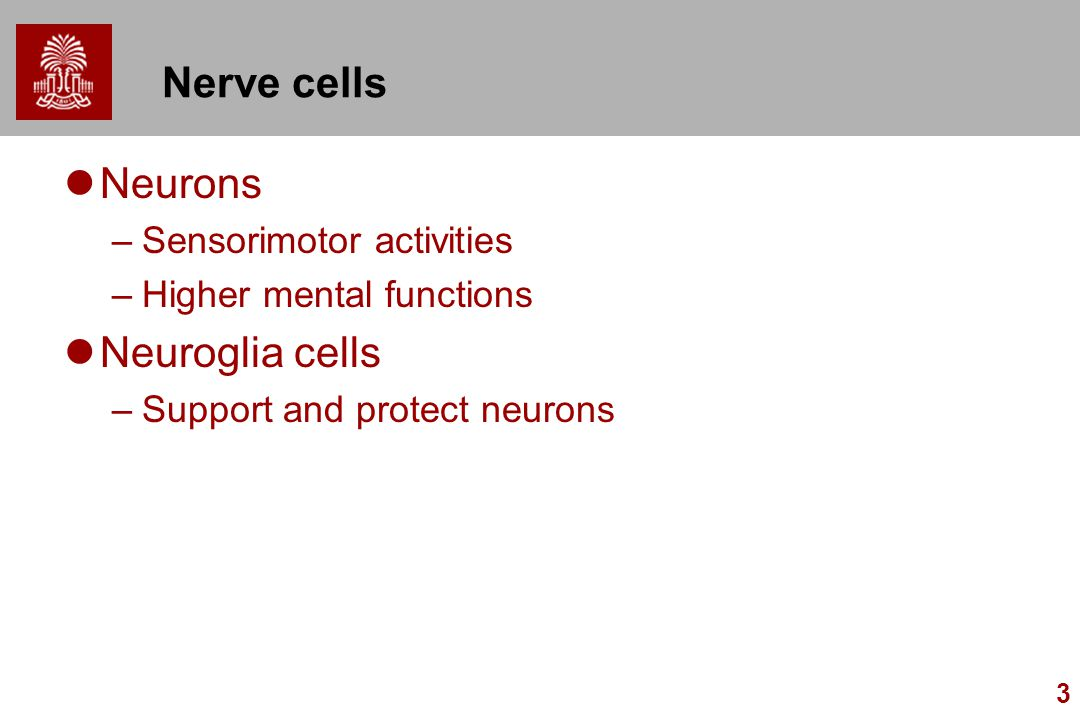 3 Nerve cells Neurons –Sensorimotor activities –Higher mental functions Neuroglia cells –Support and protect neurons