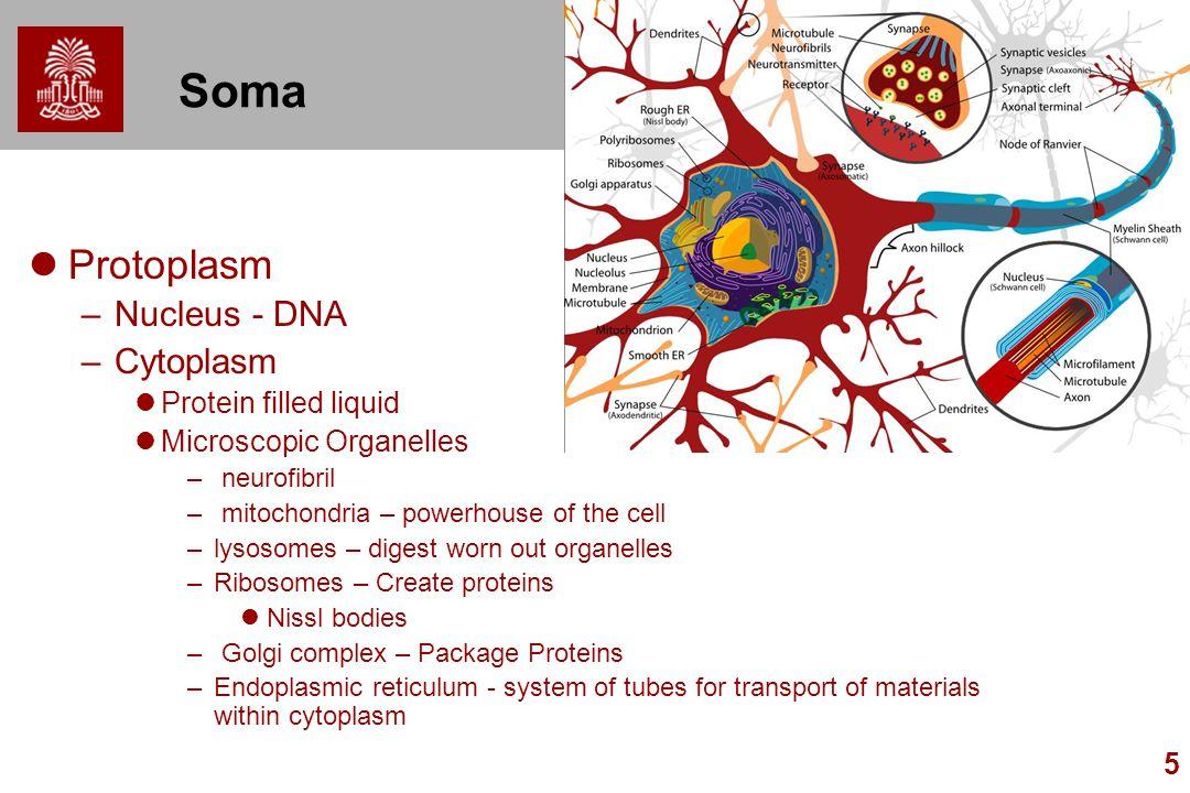 5 Soma Protoplasm –Nucleus - DNA –Cytoplasm Protein filled liquid Microscopic Organelles – neurofibril – mitochondria – powerhouse of the cell –lysoso