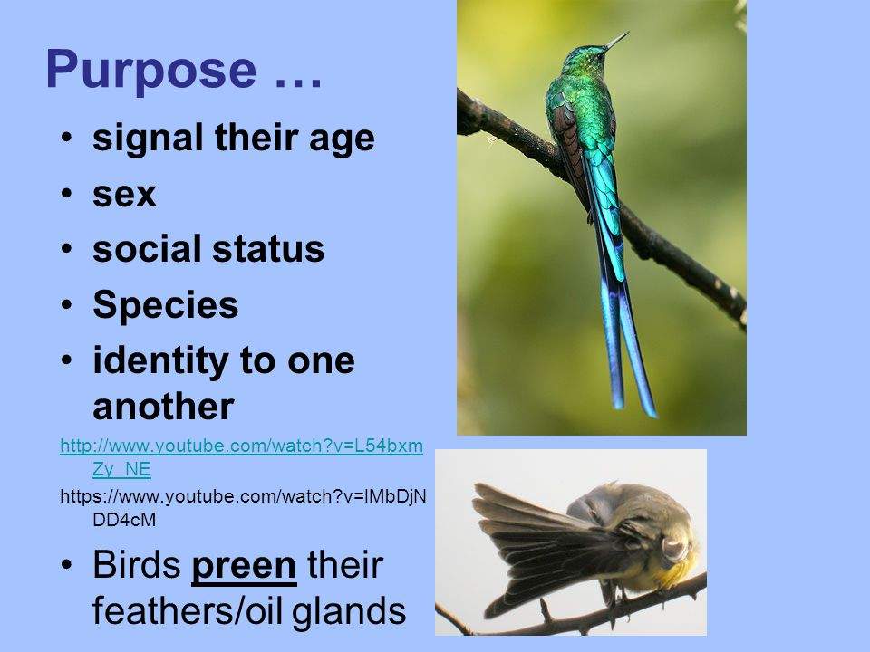 Purpose … signal their age sex social status Species identity to one another http://www.youtube.com/watch v=L54bxm Zy_NE https://www.youtube.com/watch v=lMbDjN DD4cM Birds preen their feathers/oil glands