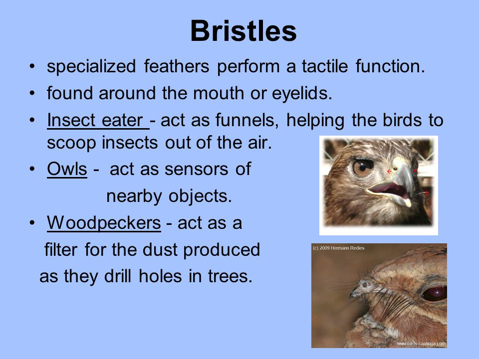 Bristles specialized feathers perform a tactile function.