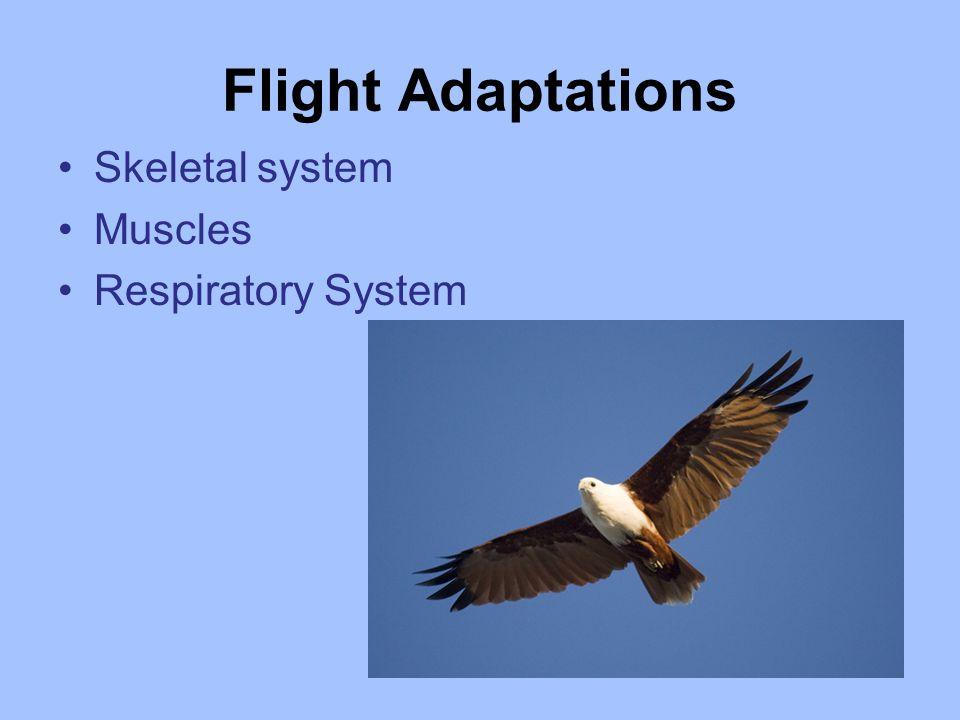 Flight Adaptations Skeletal system Muscles Respiratory System