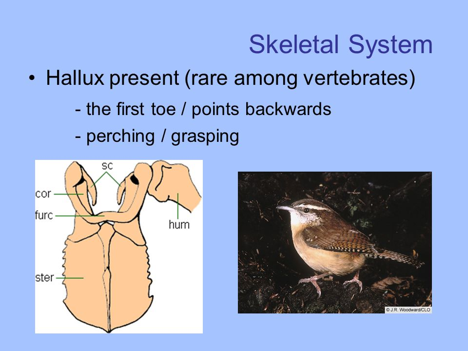 Skeletal System Hallux present (rare among vertebrates) - the first toe / points backwards - perching / grasping
