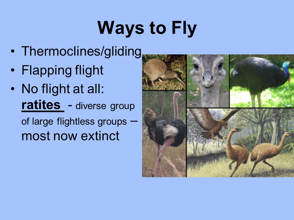 Ways to Fly Thermoclines/gliding Flapping flight No flight at all: ratites - diverse group of large flightless groups – most now extinct