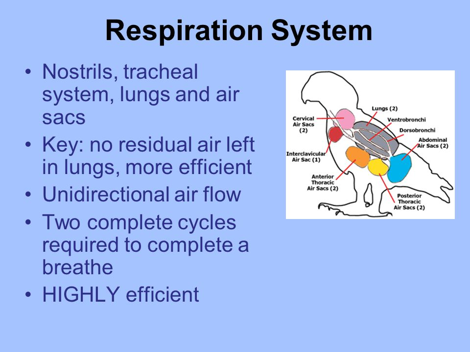 Respiration System Nostrils, tracheal system, lungs and air sacs Key: no residual air left in lungs, more efficient Unidirectional air flow Two complete cycles required to complete a breathe HIGHLY efficient