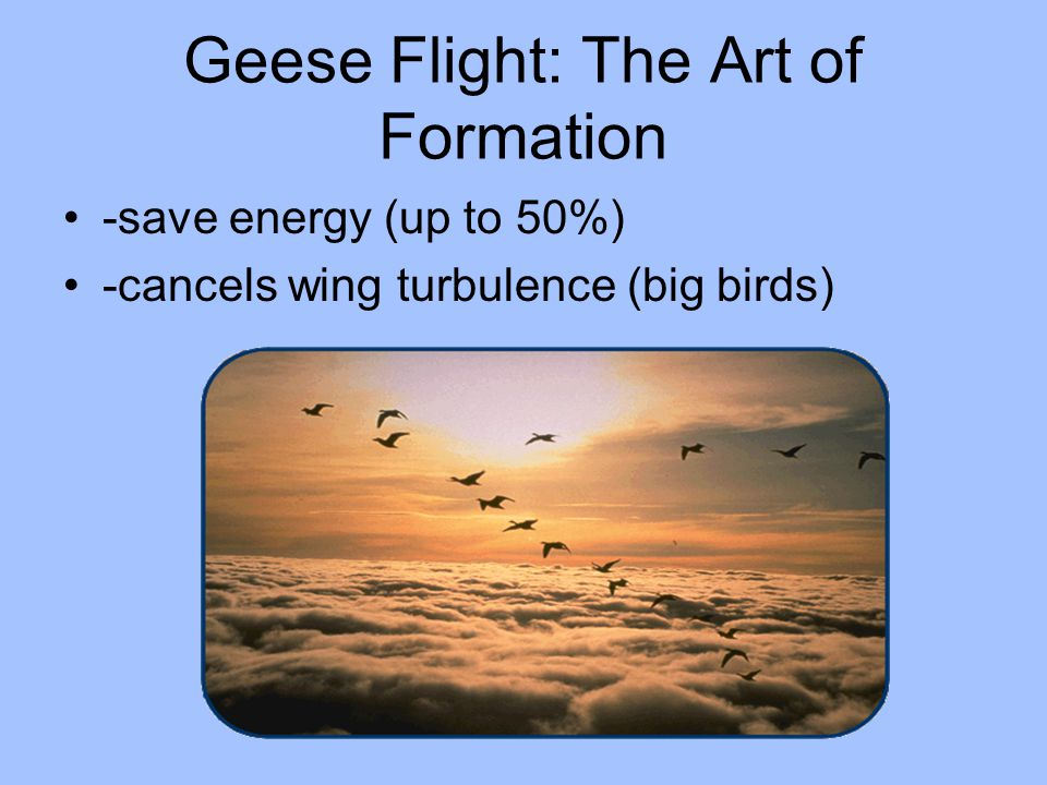 Geese Flight: The Art of Formation -save energy (up to 50%) -cancels wing turbulence (big birds)