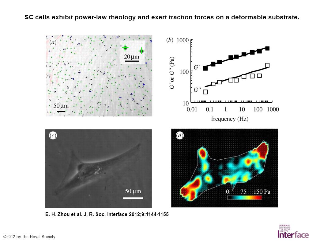 SC cells exhibit power-law rheology and exert traction forces on a deformable substrate.