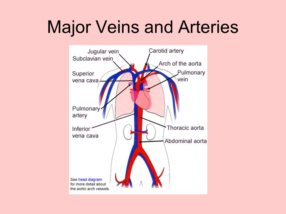 Major Veins and Arteries