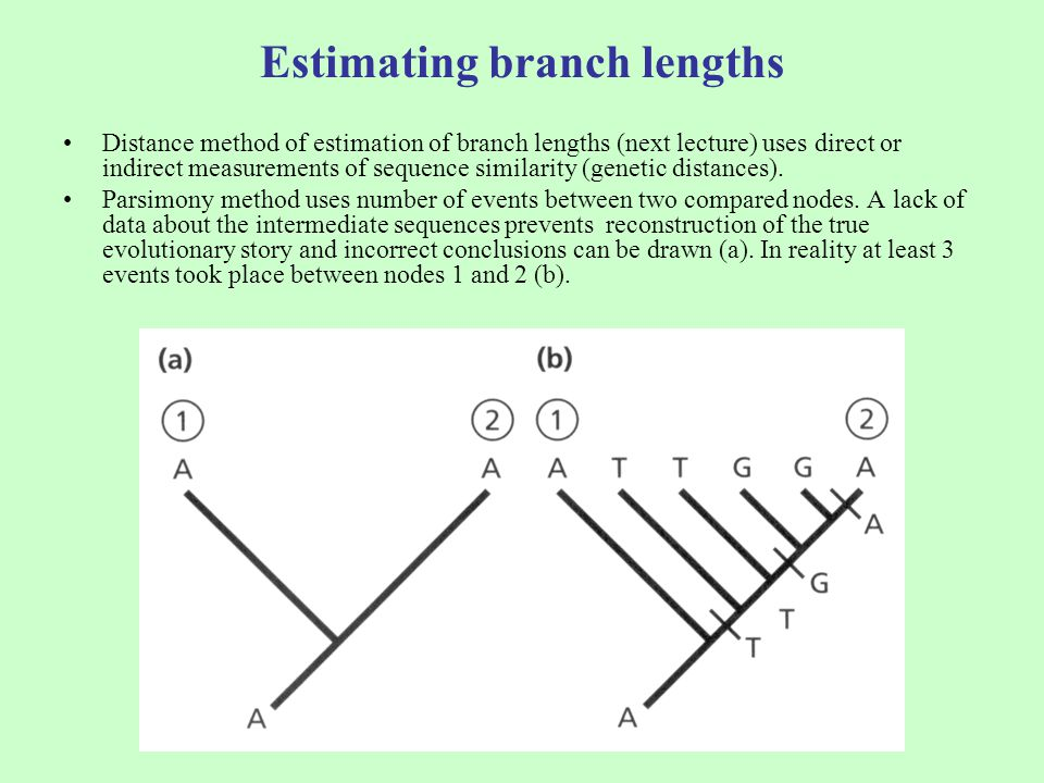 Estimating branch lengths Distance method of estimation of branch lengths (next lecture) uses direct or indirect measurements of sequence similarity (genetic distances).