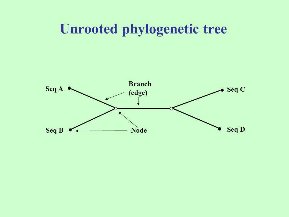 Unrooted phylogenetic tree Branch (edge) Node Seq A Seq B Seq C Seq D