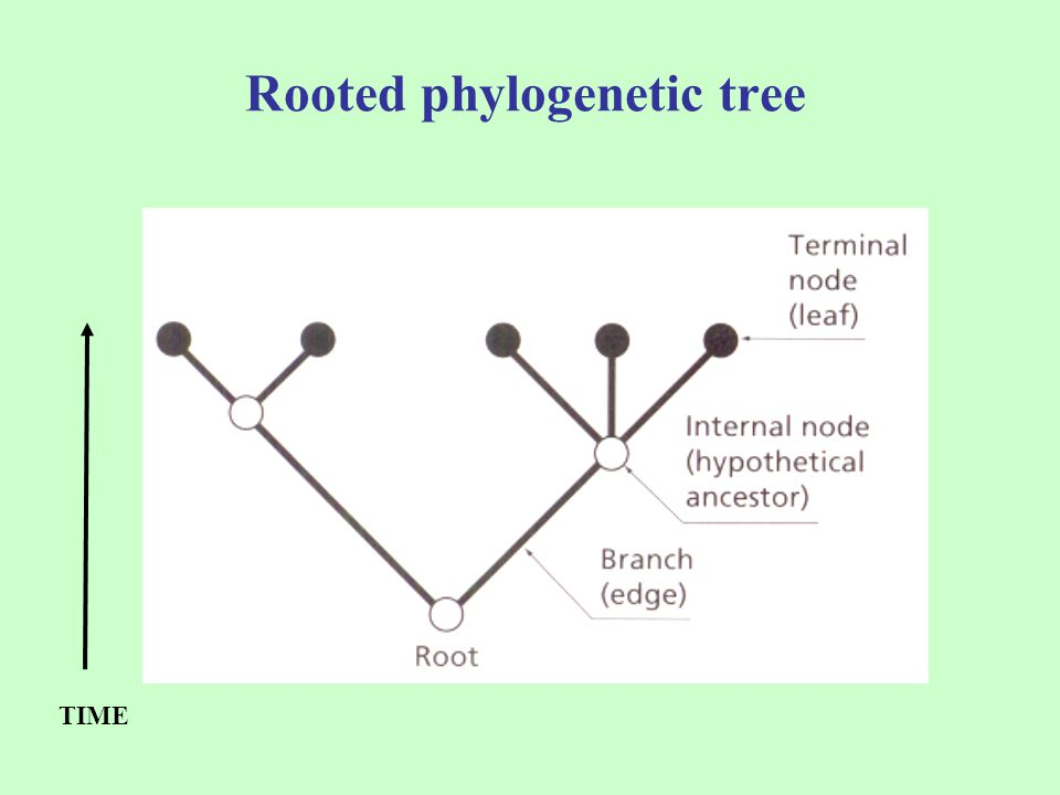 Rooted phylogenetic tree TIME