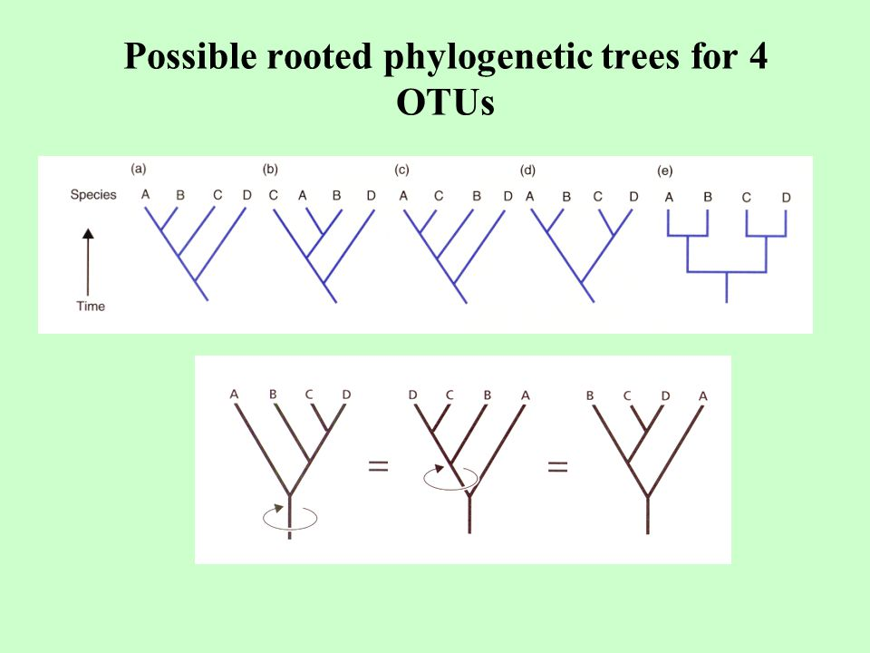 Possible rooted phylogenetic trees for 4 OTUs