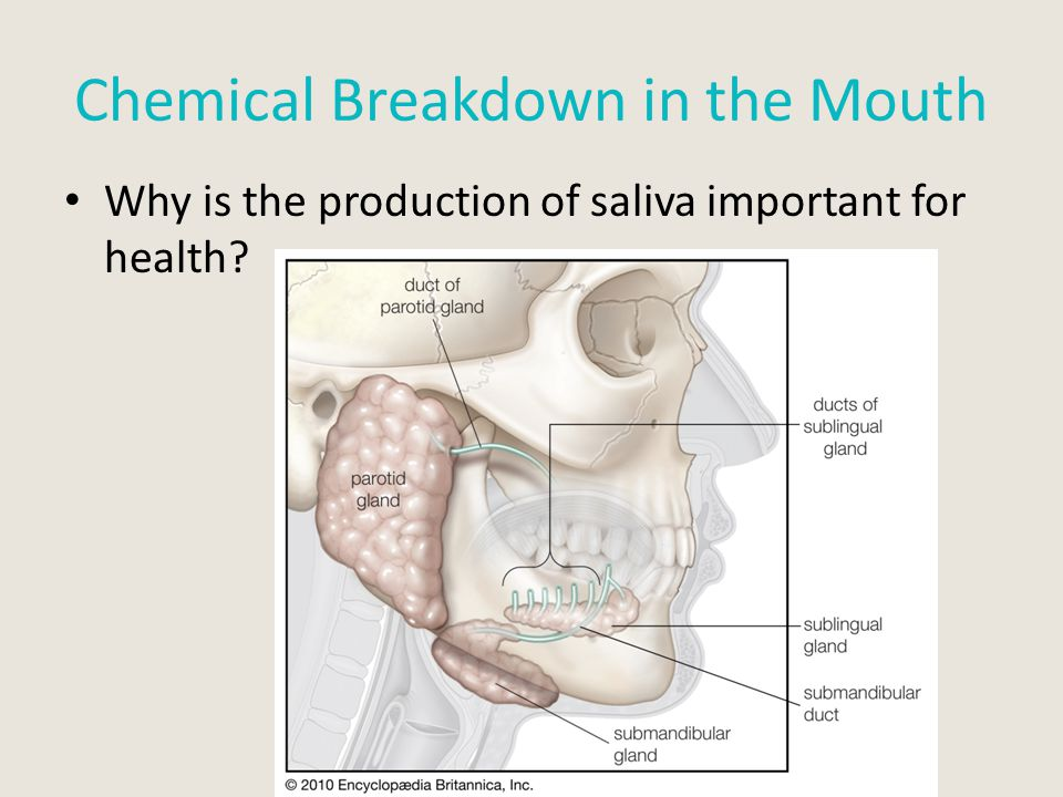 Chemical Breakdown in the Mouth Why is the production of saliva important for health