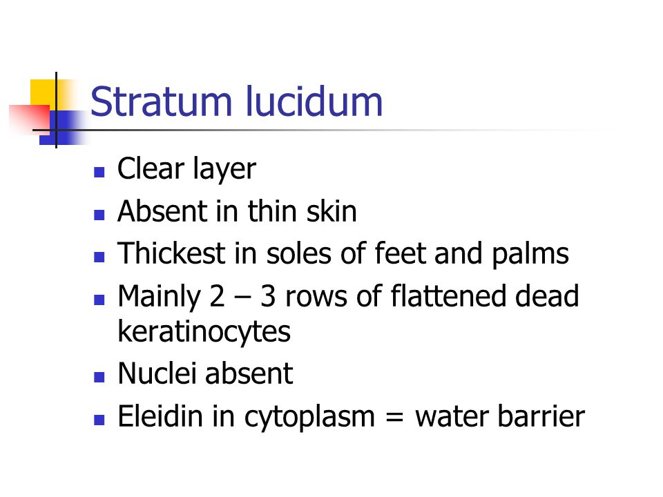 Stratum lucidum Clear layer Absent in thin skin Thickest in soles of feet and palms Mainly 2 – 3 rows of flattened dead keratinocytes Nuclei absent Eleidin in cytoplasm = water barrier