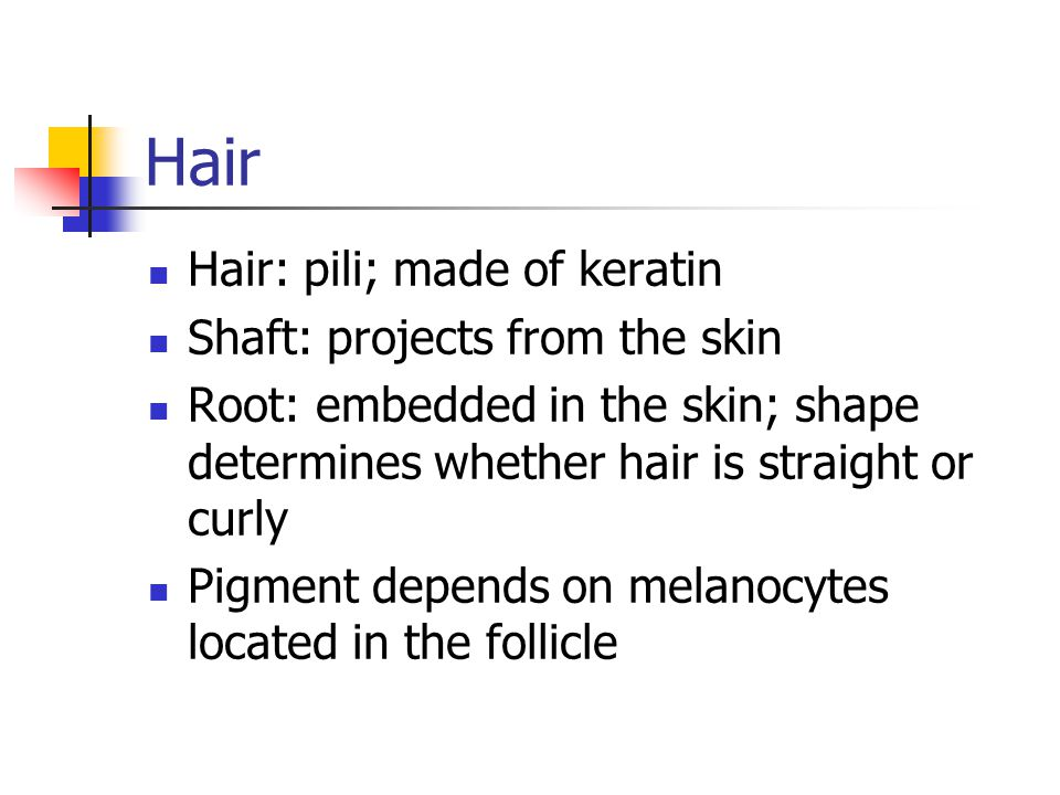 Hair Hair: pili; made of keratin Shaft: projects from the skin Root: embedded in the skin; shape determines whether hair is straight or curly Pigment depends on melanocytes located in the follicle