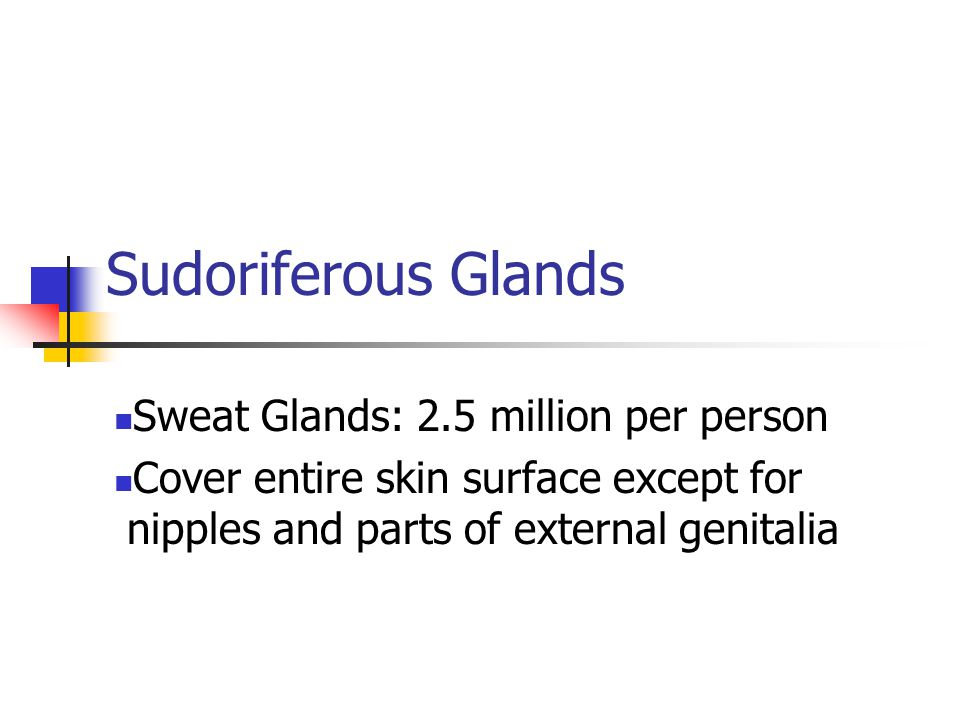 Sudoriferous Glands Sweat Glands: 2.5 million per person Cover entire skin surface except for nipples and parts of external genitalia
