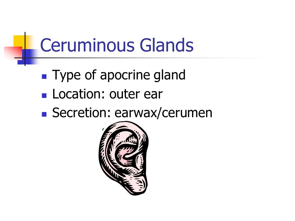 Ceruminous Glands Type of apocrine gland Location: outer ear Secretion: earwax/cerumen