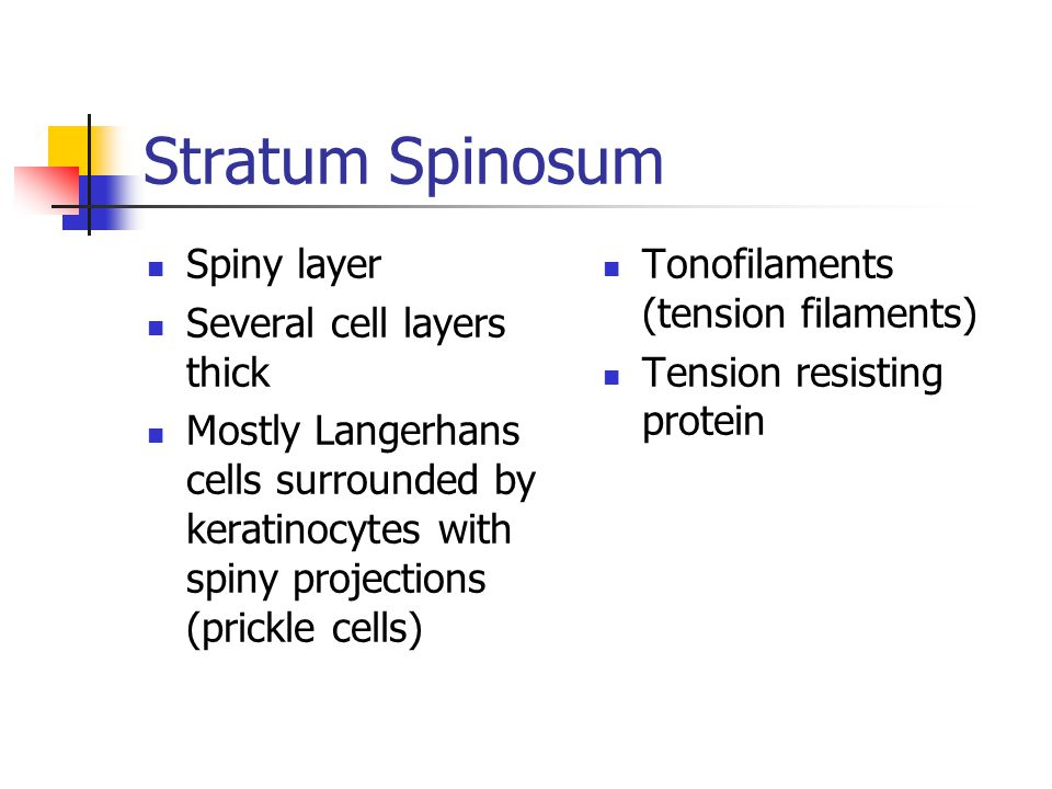 Stratum Granulosum Granular layer Tough layer 3 – 5 layers of flattened keratinocytes Keratohyaline granules  formation of keratin Lamellated granules  waterproofing glycolipid Water resistant layer Slows water loss from body Receives nutrients from tissue fluids