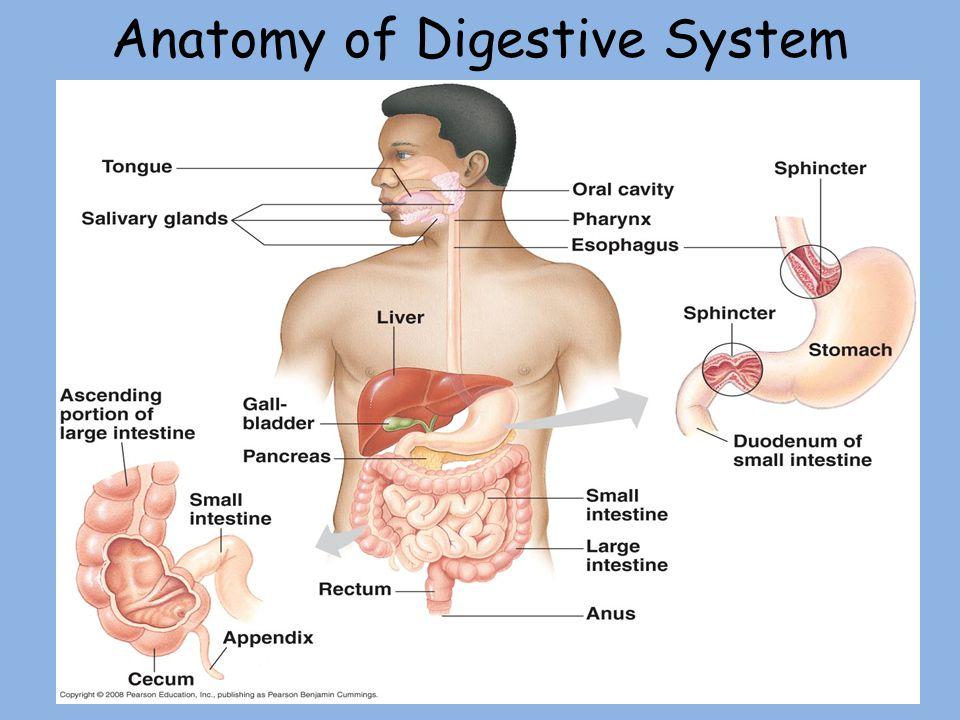 Anatomy of Digestive System